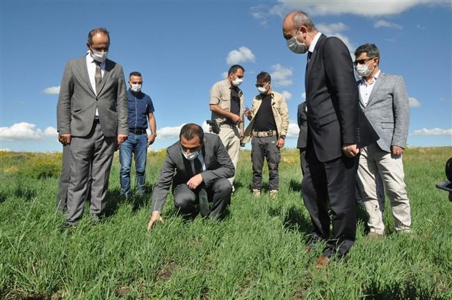 Kars'ta Kavılca Buğdayı hasadının bereketli olması bekleniyor