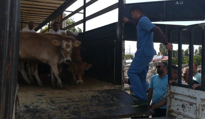 Kars'ta Genç Çiftçi Hayvanları dağıtımı devam ediyor