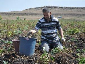 Karslı patates üreticileri Cumhurbaşkanı Erdoğan'dan yardım istedi