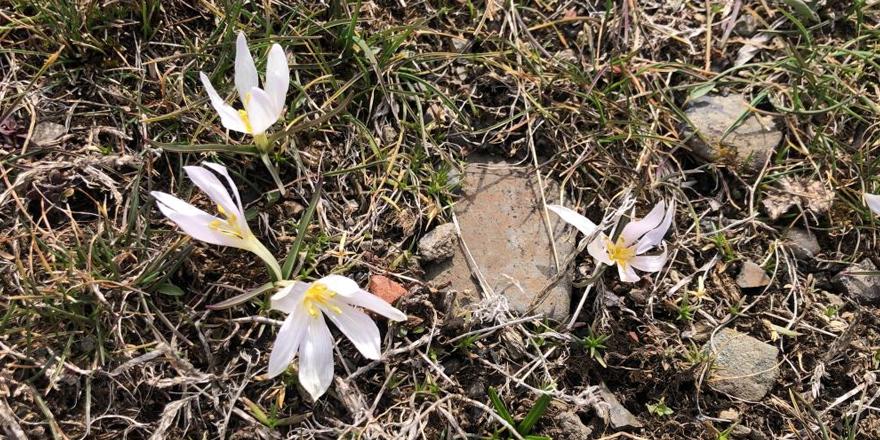 Kars'ta baharın müjdecisi kardelenler çiçek açtı