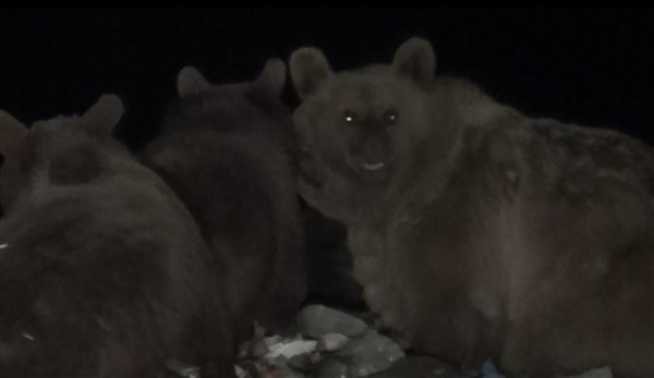 Ayılar Sarıkamış'ta kış uykusu öncesi besin depoluyor