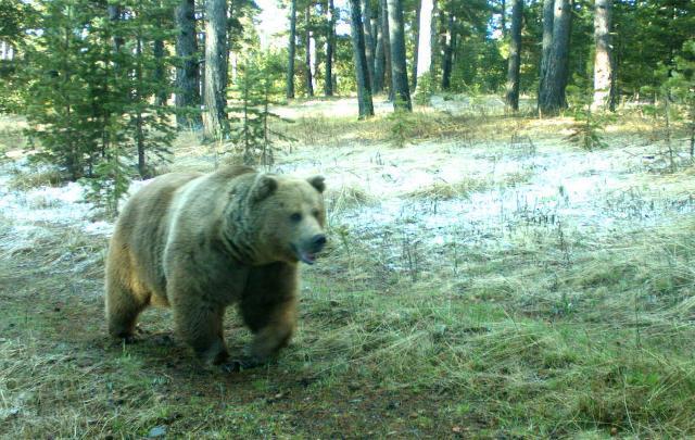Boz ayılar mı ormandan çıktı: İnsanlar mı ormana girdi?
