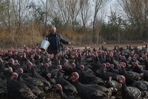 Emekli öğretmen Kurduğu Çiftlikte Organik Hindi Yetiştiriyor