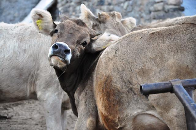 Ahır - ağıl inşaatı ve damızlık erkek hayvan alımı başvuruları devam ediyor