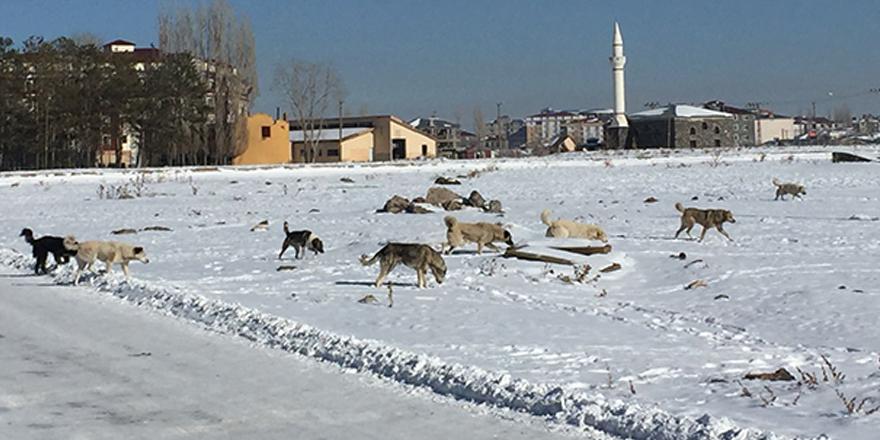 Kars'ta başıboş köpekler sürüler halinde geziyor
