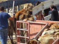 Kars'tan Batı illerine kurban sevkiyatı tamamlandı