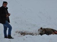 Kars'ta aç kalan kurtlar domuzlara saldırdı