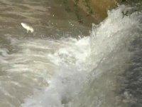 Kars'ta, balıkların 'ölüm' göçü başladı