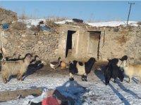 Kars'ta vicdansız hırsızlar 13 keçiyi çaldı