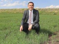 Vali Öksüz, kavılca buğdayı ekilen tarlada incelemede bulundu