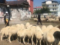 Kars'ta kurban satışından geçim ümidi son gün de devam ediyor