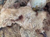 Kurt sürüye girdi: 70 küçükbaş hayvan kayıp